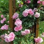Tout savoir sur le bouturage de rosier