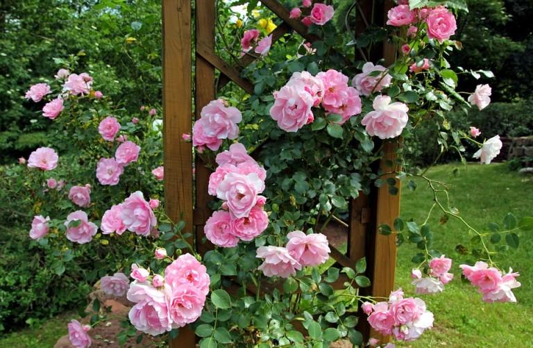 rose-834116_960_720